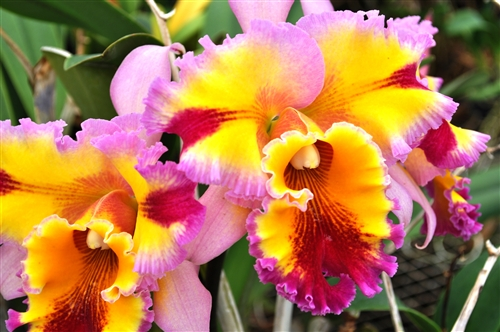 Canhamiana /'Azure Sky/' HCC//AOS C Bare Root Fragrant Cattleya Orchid