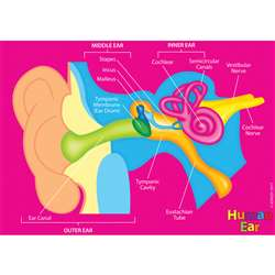 Human Body Foam Manipulatives Ear, ASH40025