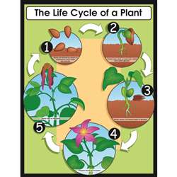 Chartlet The Life Cycle Of A Plant 17 X 22 By Carson Dellosa