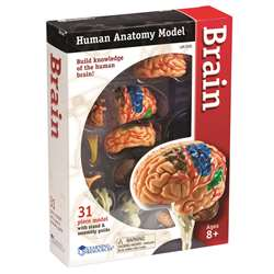 Model Brain Anatomy By Learning Resources