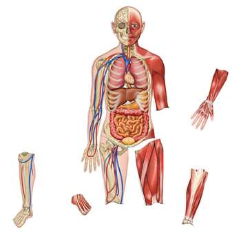 Double-Sided Magnetic Human Body By Learning Resources