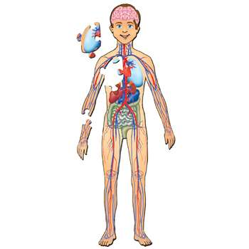 Human Body With Organs Floor Puzzle, PPAFL076