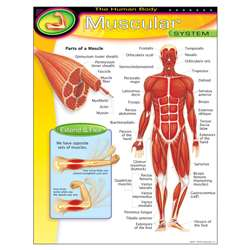 Chart Muscular System By Trend Enterprises