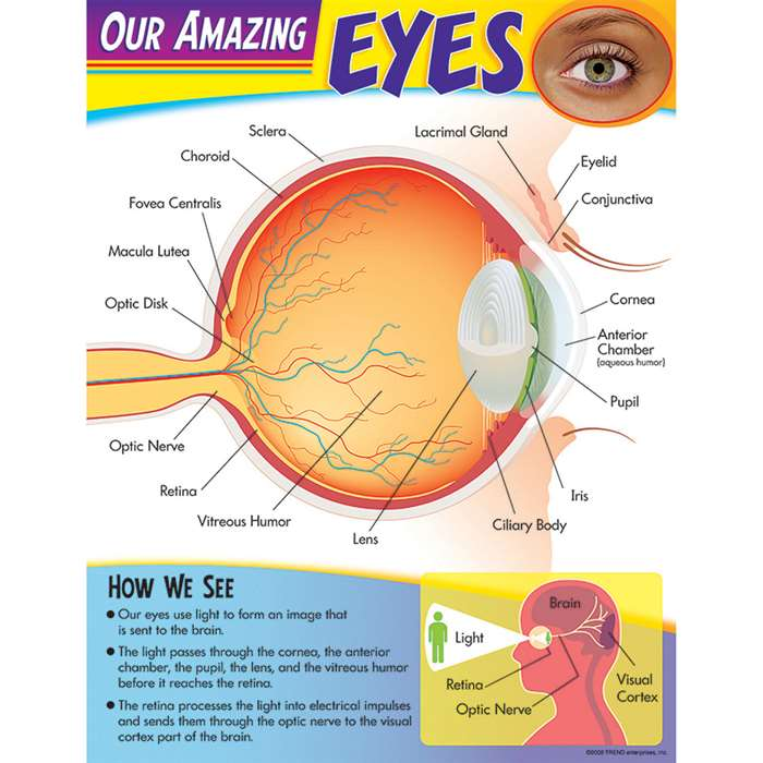 Learning Chart Our Amazing Eye By Trend Enterprises