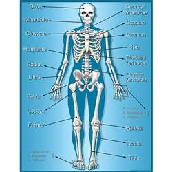 Skeleton Chart By Teacher Created Resources