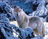 217 3d white wolf in snow 2a2004