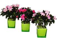 March of the Azaleas  (Seasonally available December through May)