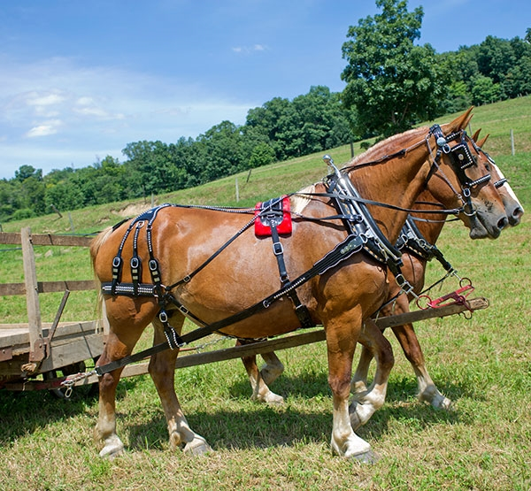 Amish made draft size harness, made in Ohio.