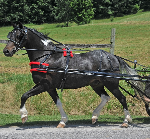 Amish made pony harness. Top quality harness.