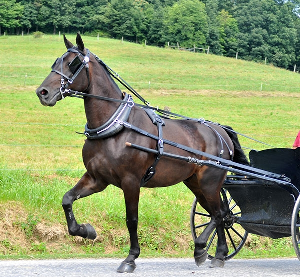 70 75 DRHAR 2?1482746349 amish made driving harness for all sizes from mini's to drafts made