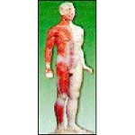 "Male Acupuncture Model 33"" Tall (176 0083)"