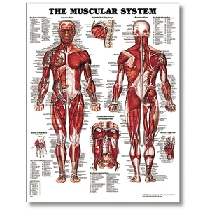 "The Male Muscular System 20"" X 26"" Styrene (573 01"