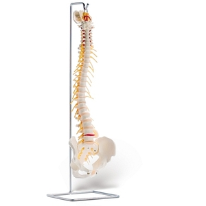 Vertebral Column With Spinal Nerve (734 0001)