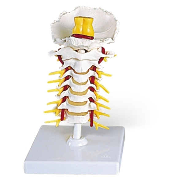 Flexible Cervical Vertebral Column (734 0006)