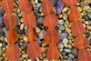 Strand of New 2013 Sea Glass Flat Freeform Beads - Tangerine / Orange