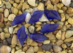 1 Sea Glass Mini Conch Shell Pendant - Cobalt Blue