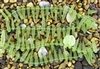 Strand of Sea Glass Tusk / Dagger Beads - Peridot Green