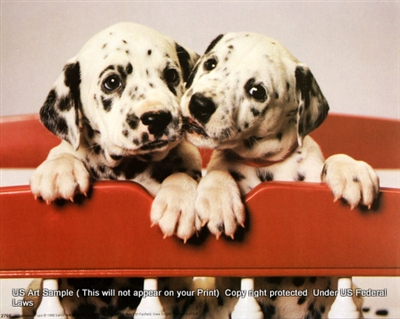 8x10 Inch Dalmation Pups Fine Art Print and Poster Animals in Dogs #x41-810-D
