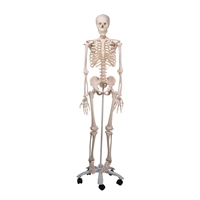 3B Scientific Skeleton Model (Stan)
