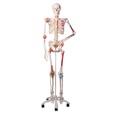 3B Scientific Super Skeleton