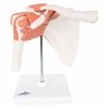 3B Scientific Functional Shoulder Joint