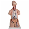 3B Scientific Classic Unisex Torso with Open Back