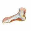 3B Scientific Normal Foot Model