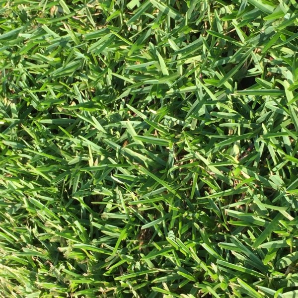 Plugs Trays 2 Grass Blue Bitter QrxdtshC