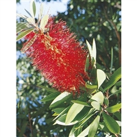 Bottlebrush Tree Plant - 1 Gallon