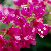 Bougainvillea - 1 Quart