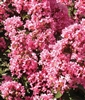 Crape Myrtle (Magic Coral)  - 1 Gallon