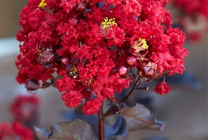 Black Diamond Crape Myrtle (Red Hot) - 1 Gallon
