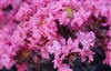 Black Diamond Crape Myrtle (Shell Pink) - 2.25 Gallon