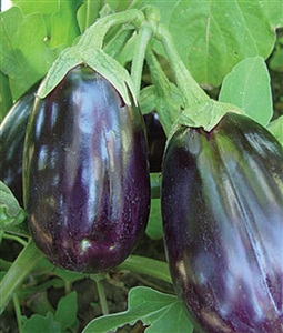 Eggplant Black Beauty Seed - 1 Packet