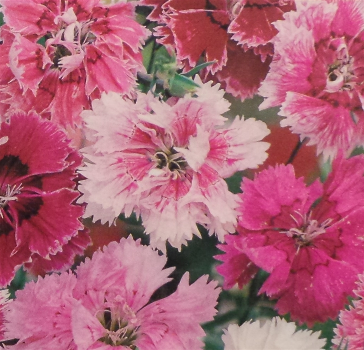 Pinks Dianthus Seed 1 Packet