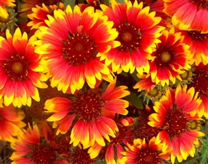 Indian Blanket Seeds (heirloom annual variety) - 1 packet