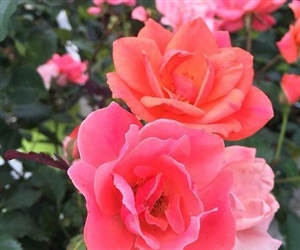 Knock Out Coral Roses - 1 Gallon