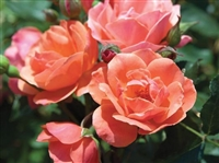 Knock Out Coral Roses - 2 Gallon