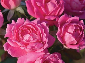 Knock Out Double Pink Roses - 1 Gallon