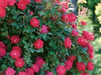 Knock Out Double Red Roses - 2 Gallon
