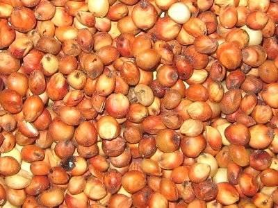 milo grain sorghum seed 1 lb