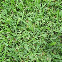 Palmetto Grass Plugs - 1 Tray
