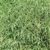 Red River Crabgrass Seed