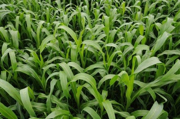sorghum sudangrass sugar grazer ii seed 10 lbs