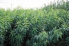 Tecomate Sunn Hemp Food Plot - 8 Lbs.