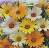 African Daisy Mixed Colors Seed - 1 Packet
