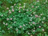 Alsike Clover Seed - 1 Lb.