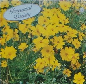 Coreopsis Sunburst Seed - 1 Packet