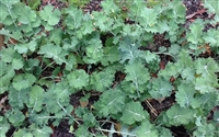 Dwarf Siberian Improved Kale Seed - 1 Lb.