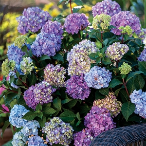 Endless Summer Hydrangea Floral Plant - 1 Gallon